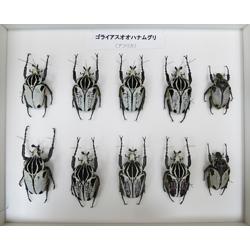 烏山邦夫甲虫類コレクション