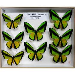 烏山邦夫鱗翅類コレクション