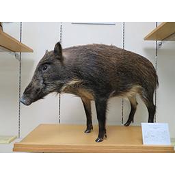 哺乳類本剥製・骨格コレクション